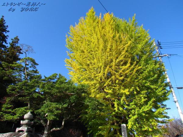 0367銀杏の木161112.jpg