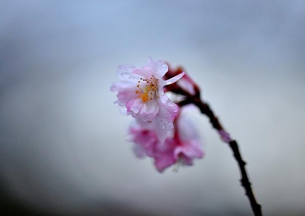 2十月桜17.01.08