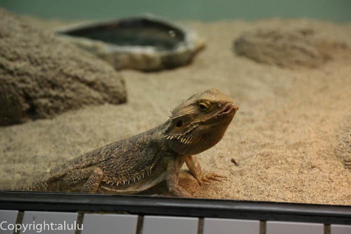 東山動物園 フトアゴヒゲトカゲ 動物写真