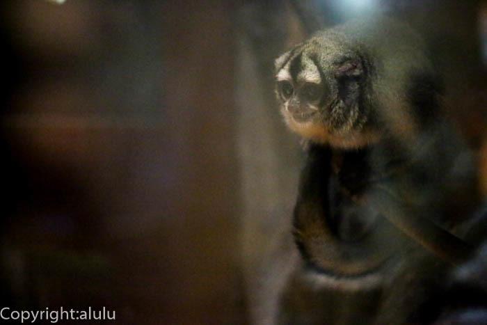 上野動物園 ヨザル