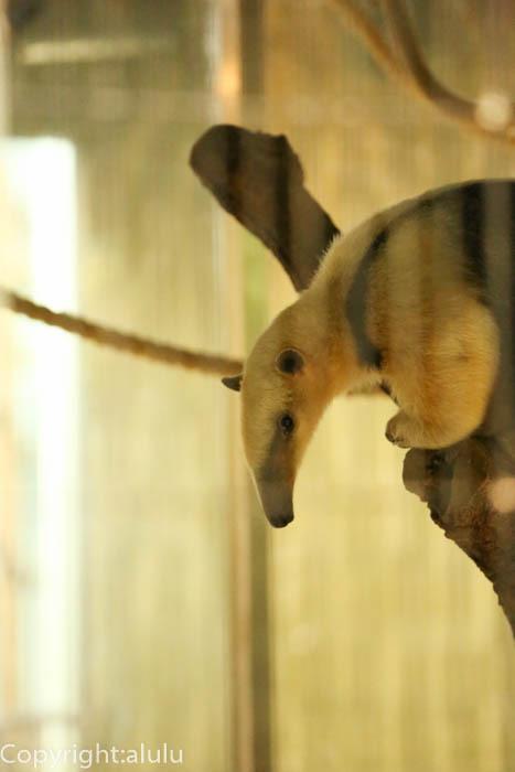 上野動物園 ミナミコアリクイ 画像