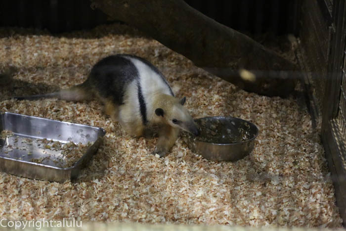 ミナミコアリクイ 動物写真