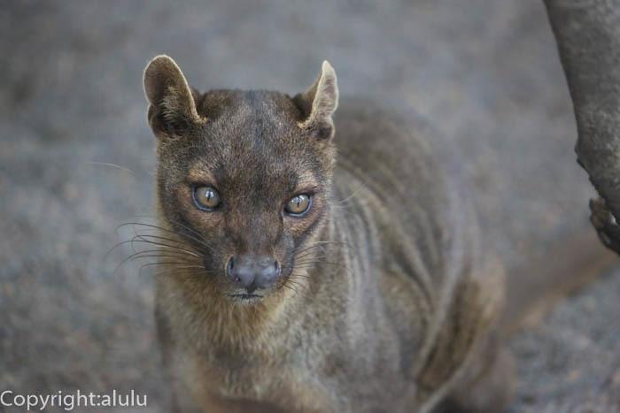 上野動物園 フォッサ マダガスカル