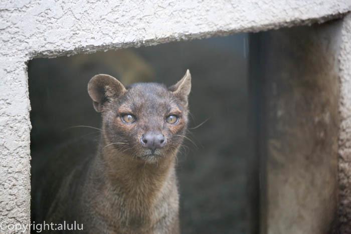 上野動物園 フォッサ