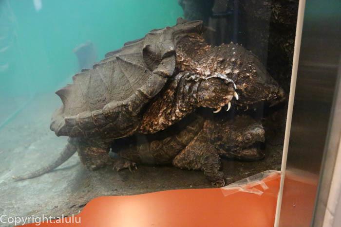 日本平動物園 は虫類館 ワニガメ