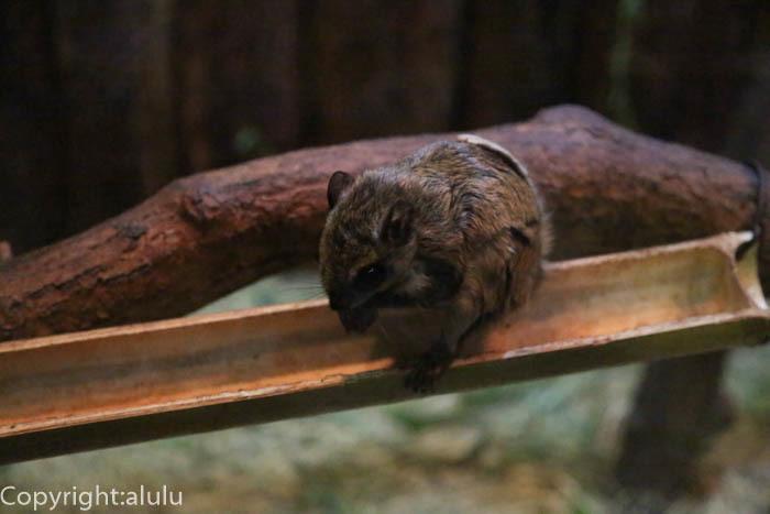 上野動物園 二ホンモモンガ