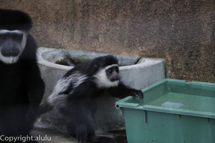 野毛山動物園 サル アビシニアコロブス