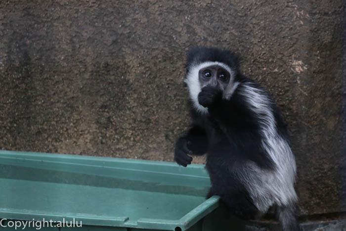 野毛山動物園 アビシニアコロブス