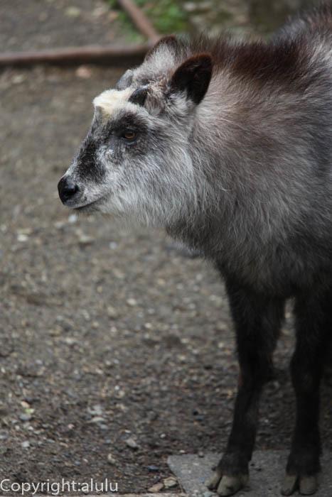 日本平動物園 ニホンカモシカ 画像
