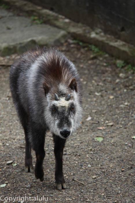 日本平動物園 ニホンカモシカ