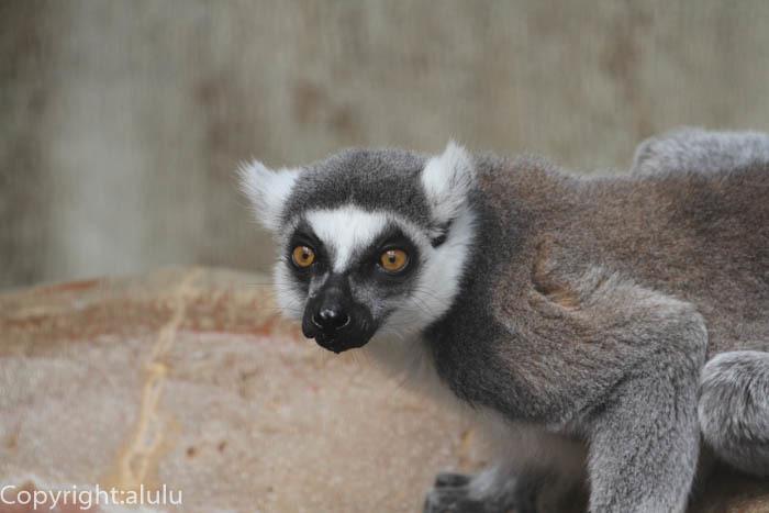マダガスカル ワオキツネザル