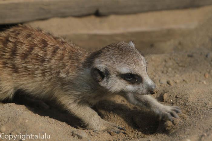 よこはま動物園ズーラシア ミーアキャット