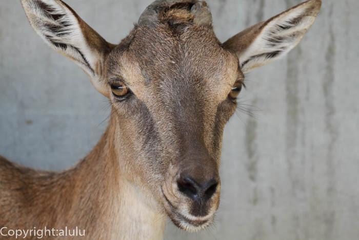 宇都宮動物園 マーコール メス
