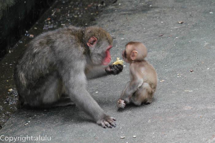 宇都宮動物園 ニホンザル 親子