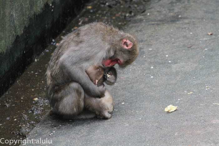 宇都宮動物園 ニホンザル