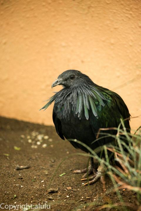 ミノバト 鳥