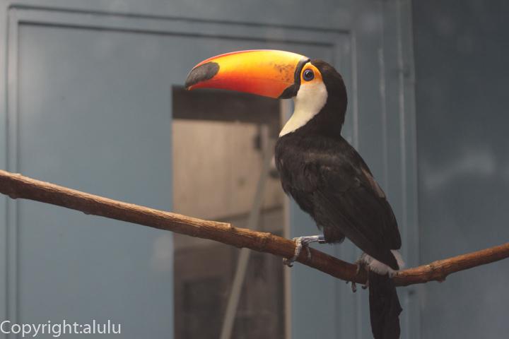 福山市立動物園 オニオオハシ