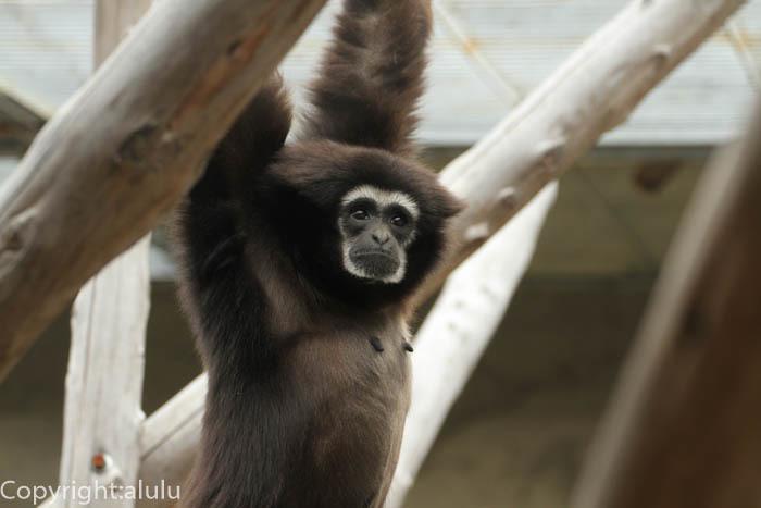 王子動物園 さる シロテテナガザル