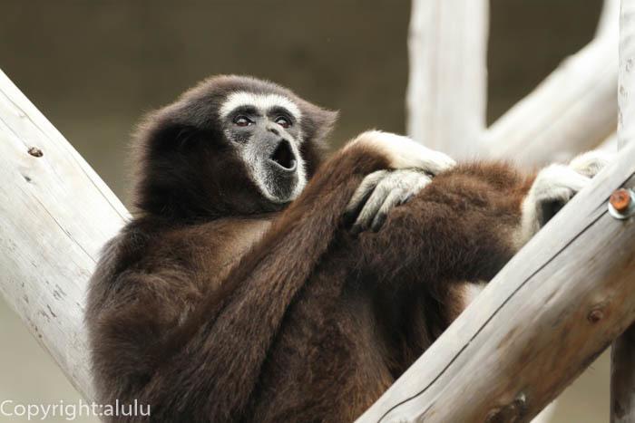王子動物園 シロテテナガザル