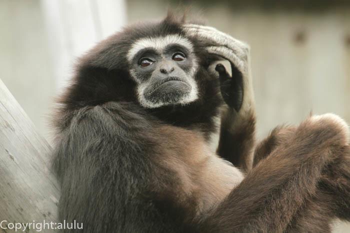 シロテテナガザル 動物写真 さる