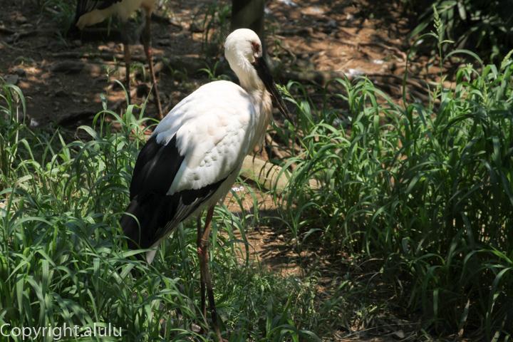 多摩動物園 ニホンコウノトリ