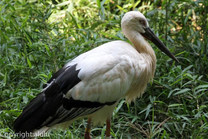 多摩動物公園 ニホンコウノトリ