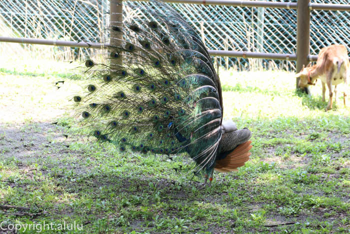 多摩動物公園 インドクジャク 画像