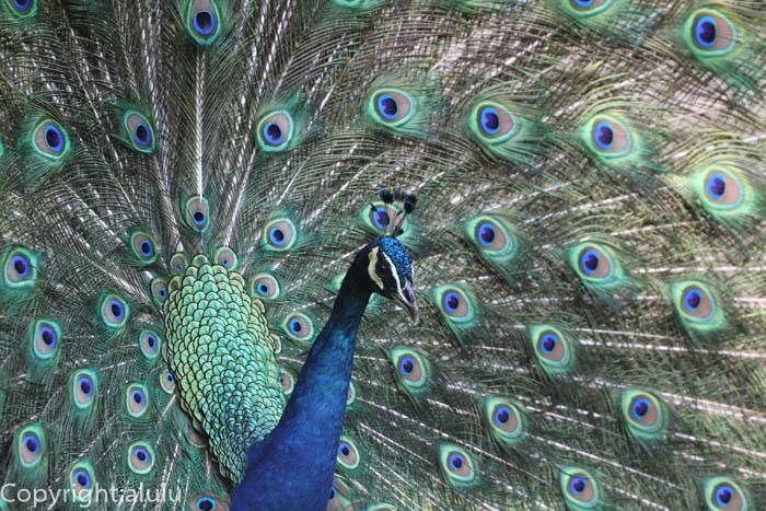 多摩動物公園 インドクジャク 羽