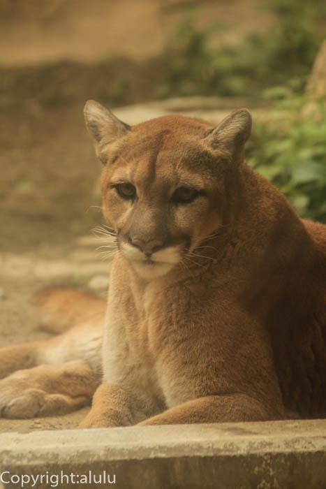 日本平動物園 猛獣館299 ピューマ