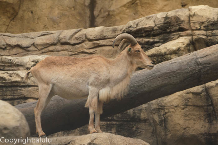日本平動物園 バーバリーシープ