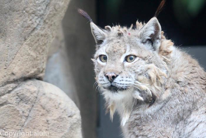 王子動物園 シベリアオオヤマネコ