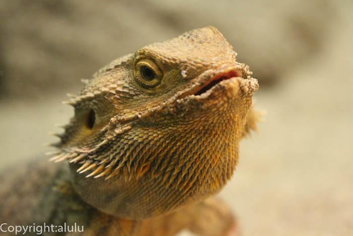 フトアゴヒゲトカゲ 爬虫類