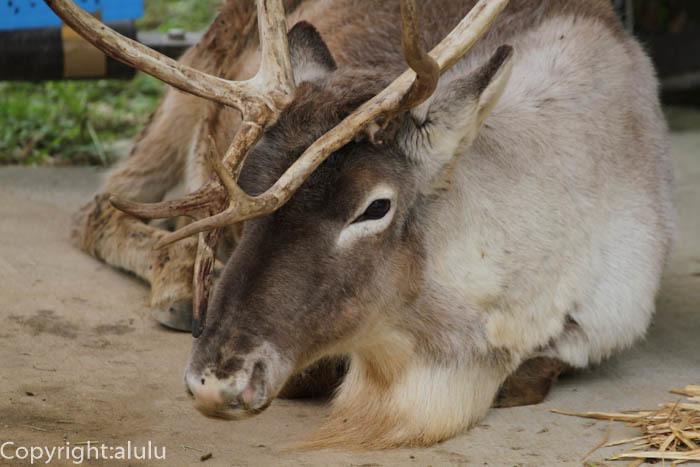東山動物園 トナカイ