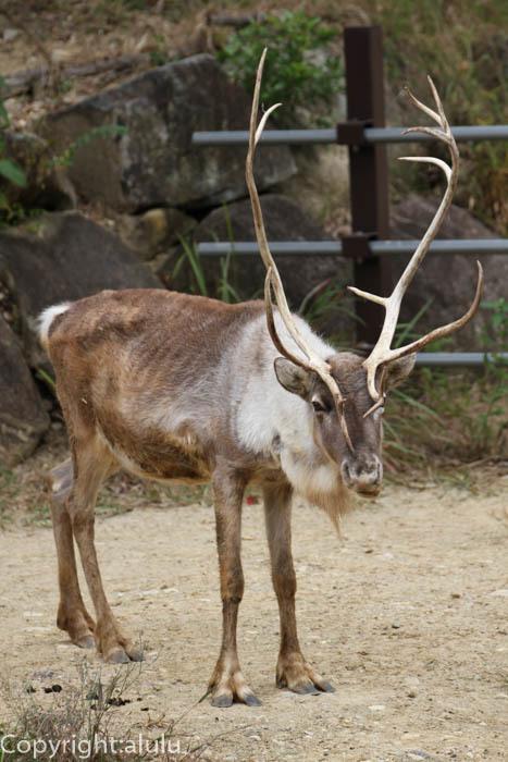 トナカイ 動物写真 クリスマス