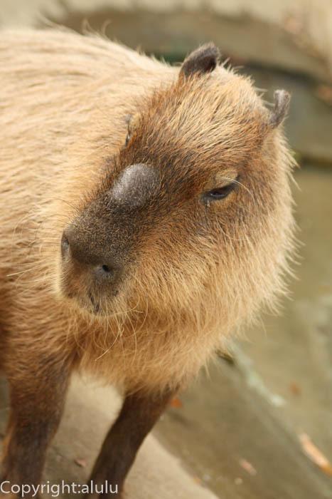 千葉市動物公園 カピバラ 画像