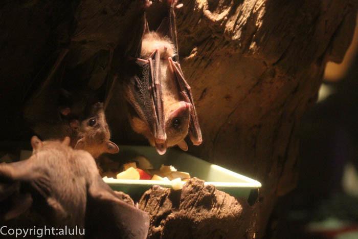 天王寺動物園 エジプトルーセットオオコウモリ