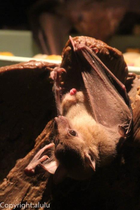 エジプトルーセットオオコウモリ 動物写真