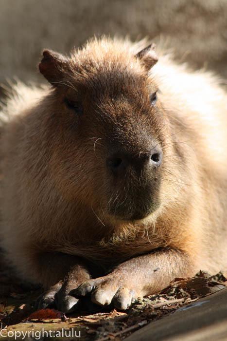 カピバラ 動物写真
