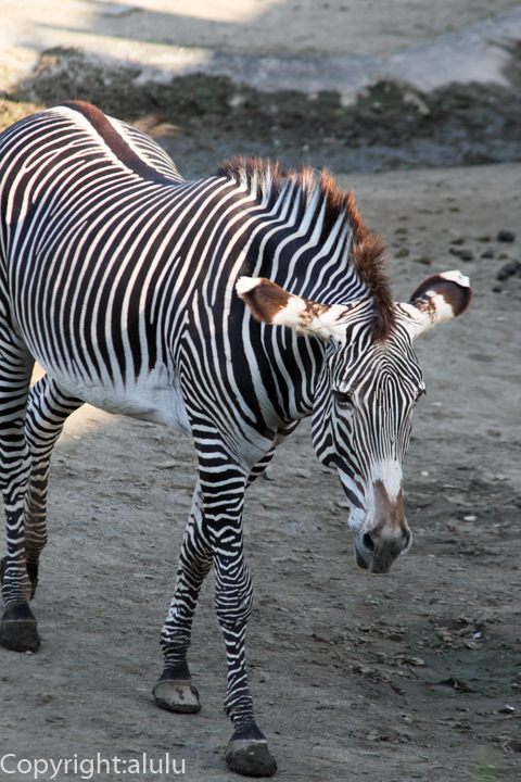 千葉市動物公園 グレビーシマウマ 画像