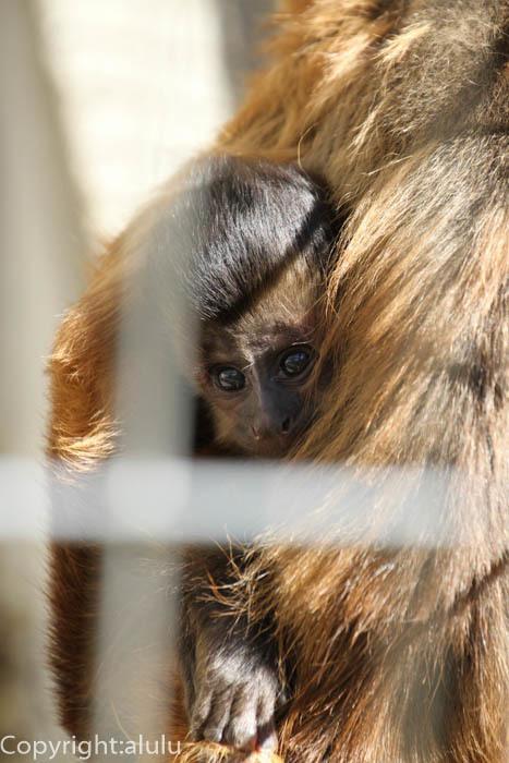 浜松市動物園 フサオマキザル 赤ちゃん
