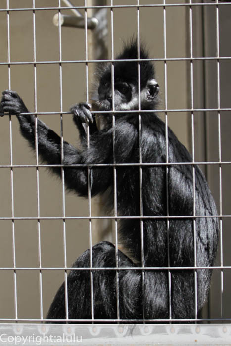 浜松市動物園 サル フランソワルトン