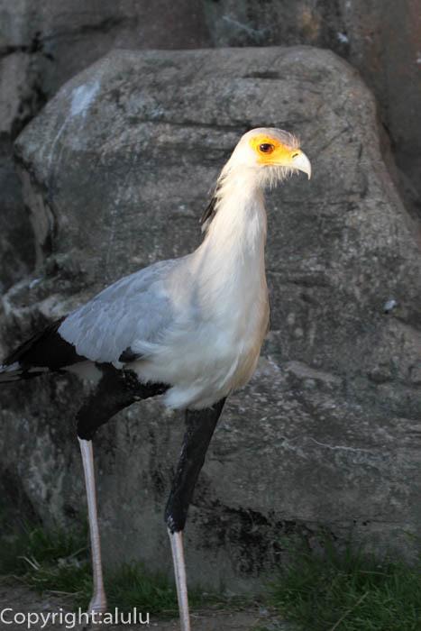 東武動物公園 ヘビクイワシ 画像