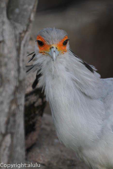 ヘビクイワシ 鳥