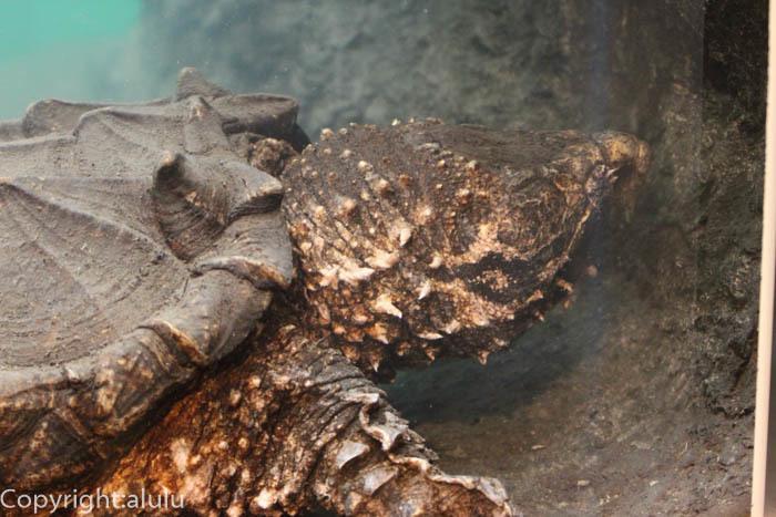 ワニガメ 爬虫類