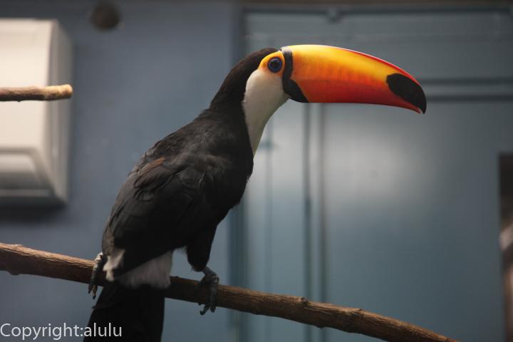 福山市立動物園 オニオオハシ 画像