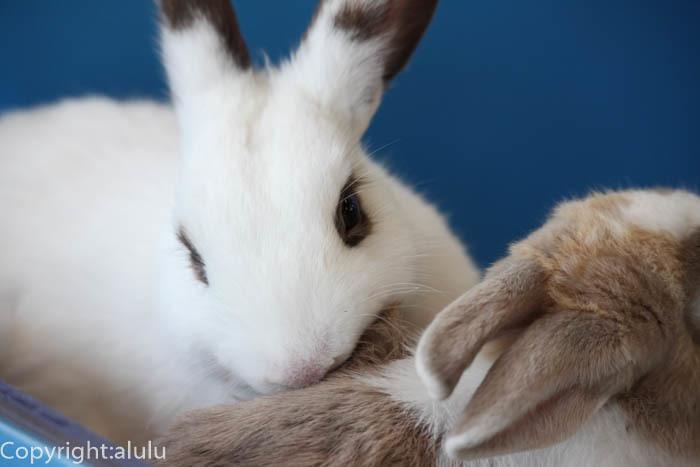 白いウサギ 画像