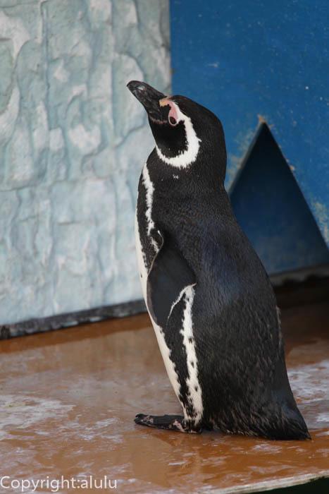 遊亀公園付属動物園 マゼランペンギン