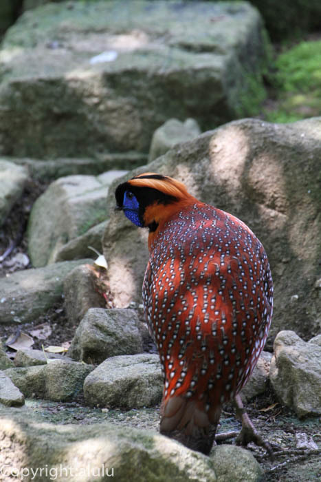よこはま動物園ズーラシア ベニジュケイ