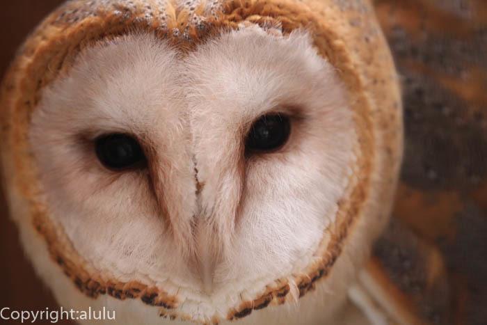 メンフクロウ 動物写真