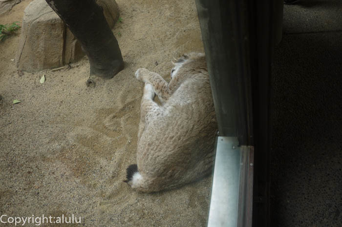 王子動物園 シベリアオオヤマネコ 画像